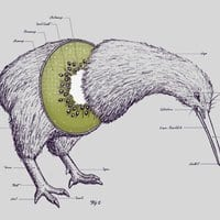 Kiwi Anatomy - small view